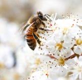Biene, die Blütenstaub von einer weißen Blume erfasst Makro lizenzfreie stockbilder