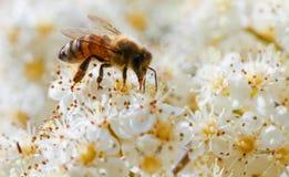 Biene, die Blütenstaub von einer weißen Blume erfasst Makro Stockbild