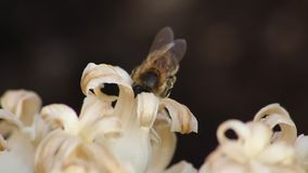 Biene, die Blütenstaub von einer weißen Blume sammelt stock video