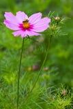 Biene, die Blütenstaub montiert Stockfotos