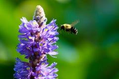 Biene, die Blütenstaub sammelt Stockfoto