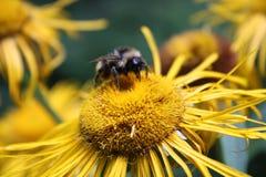 Biene, die Blumennektar montiert Lizenzfreie Stockbilder