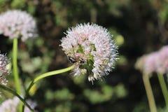 Biene, die den Blütenstaub auf weisen Blumen, breitblättrige Schnittlauche, Lauch senescens am sonnigen Tag erfasst Heilpflanzen, Lizenzfreie Stockfotos