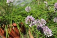 Biene, die den Blütenstaub auf weisen Blumen, breitblättrige Schnittlauche, Lauch senescens am sonnigen Tag, Heilpflanzen, Kräute Lizenzfreies Stockfoto