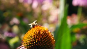 Biene, die an Echinacea officinalis Blumen arbeitet stock video footage