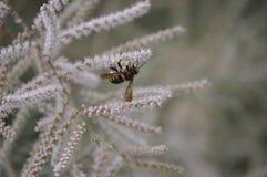 Biene, die eine reizende weiße Baumblume bestäubt Lizenzfreies Stockfoto