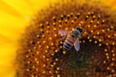 Biene, die eine Sonnenblume genießt Lizenzfreies Stockfoto