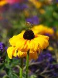 Biene, die einen Flug über yello nimmt Stockbilder