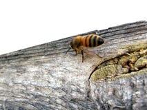 Biene, die entlang das Leerzeichen geht Stockfoto
