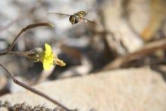 Biene, die fliegt, um zu blühen Stockbilder