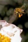 Biene, die hereinkommt zu landen stockbild
