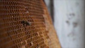 Biene, die Honig erfasst stock footage