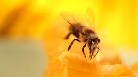 Biene, die Honig und Nektar erfasst stock video