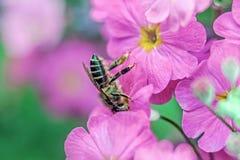 Biene, die Honig von der roten Blume erfasst Stockfotografie