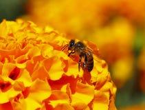 Biene, die I bestäubt Stockfotos