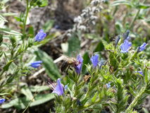 Biene, die nach Nektar in einer Blume sucht Lizenzfreies Stockfoto