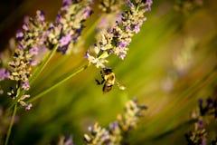 Biene, die nach Nektar sucht Stockfoto
