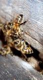 Biene, die nach Winter herauskommt Stockfoto
