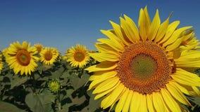 Biene, die nahe schöner Sonnenblume fliegt Bearbeitung von Vielzahl für Pflanzenöle stock footage