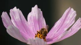 Biene, die Nectar From eine Garten-Kosmos-Kosmos Bipinnatus-Blume sammelt stock video