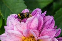 Biene, die Nektar des rosa Blumenfeldes sammelt stockfotografie