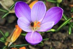 Biene, die Nektar in einer purpurroten Blume montiert Stockfotos