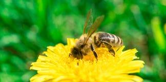 Biene, die Nektar oder Honig auf dem Löwenzahn sammelt stockfotografie