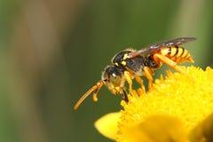 Biene, die Nektar saugt stockbild
