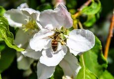 Biene, die Nektar und Blütenstaub erfasst Stockfoto