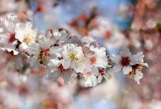 Biene, die Nektar von den Blumen des Pfirsichbaums sammelt Stockbild