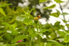 Biene, die Nektar von der Blüte einer Zinniablume nach einem Regen mit Wassertröpfchen gegen einen grünen bokeh Hintergrund extra lizenzfreie stockfotos
