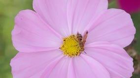 Biene, die Nektar von der Kosmosblume sammelt stock footage