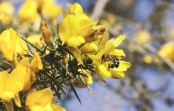 Biene, die Nektar von der Stechginster-Blume sammelt lizenzfreies stockfoto