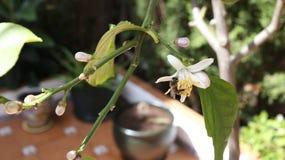 Biene, die nippt, um Honig zu machen Stockfoto