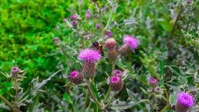 Biene, die purpurrote Blume sitzt lizenzfreies stockbild