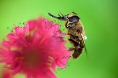 Biene, die sich wäscht Stockbilder