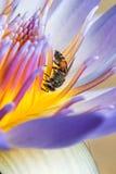 Biene, die Sirup in der Lotus-Blume isst Lizenzfreies Stockfoto