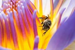 Biene, die Sirup in der Lotus-Blume isst Lizenzfreie Stockbilder