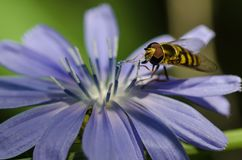 Biene, die unermüdlich Blütenstaub von einer kleinen blauen Blume erfasst Stockbild
