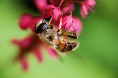 Biene, die unter rosafarbener Blume hängt Lizenzfreie Stockfotos