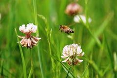 Biene, die zum Klee fliegt Stockfotografie