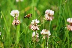 Biene, die zum Klee fliegt Stockbild