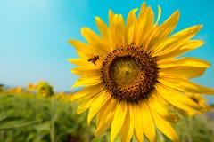 Biene, die zur Sonnenblume im Hintergrund des blauen Himmels fliegt Lizenzfreie Stockbilder