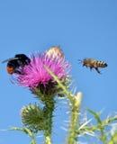 Biene, die zur wilden Blume fliegt Stockfoto