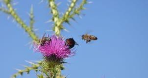 Biene, die zur wilden Blume fliegt Lizenzfreie Stockfotografie