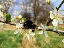 Biene in einem Apfelbaum stockbild