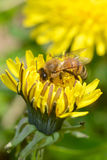 Biene in einem Löwenzahn Stockbild