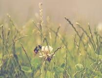 Biene an einem Sommertag Blütenstaub sammelnd Lizenzfreies Stockfoto