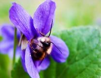 Biene in einem Veilchen Stockfotografie