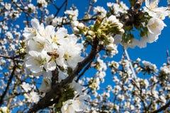 Biene in einer Blüte auf einem Baum im Hintergrund des blauen Himmels Lizenzfreies Stockfoto